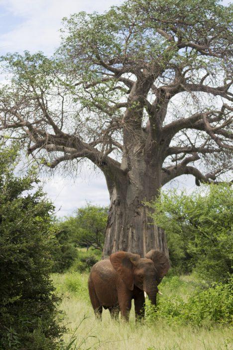 elephant Tarangire