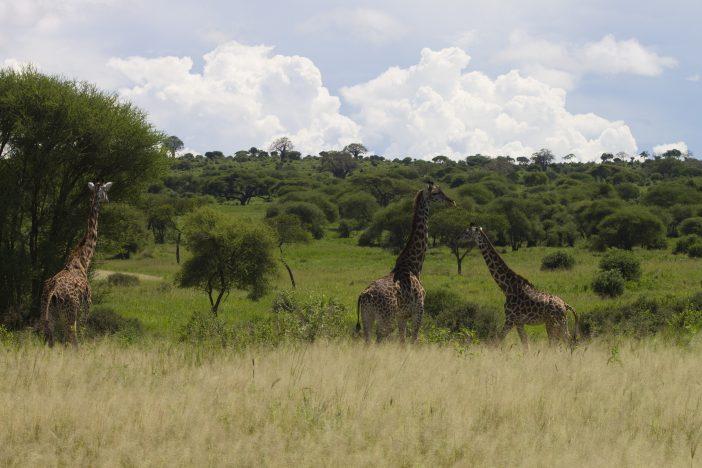 giraffe Tarangire