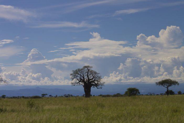 Boabab tree