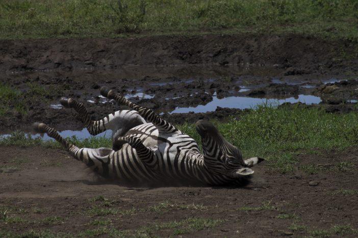 Zebra roll