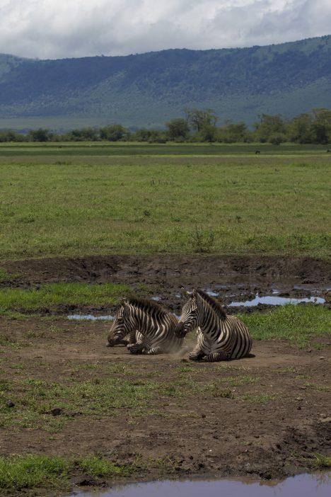 Zebra hanging