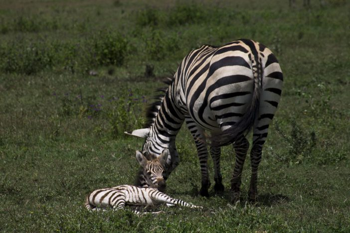 Zebra offspring