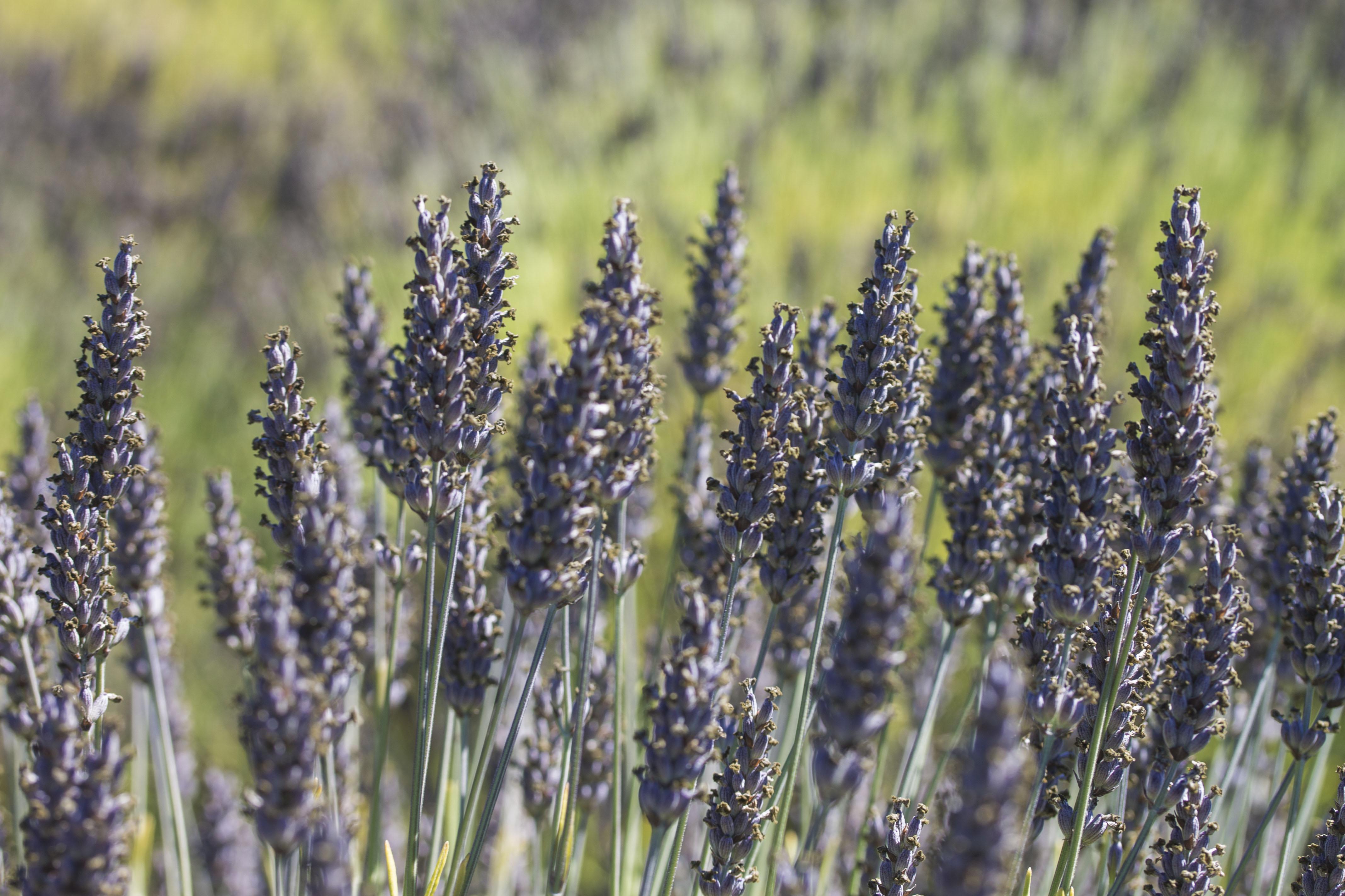 san-juan-island10-lavender